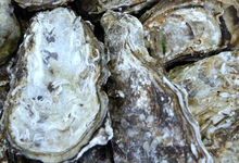 Edulis, huîtres