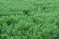 lentilles et flageolets en agriculture raisonnée