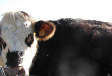 Viande De Vache En Caissettes De 8 à 10 Kg