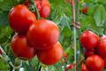 Tomate bio cultivé en pleine terre