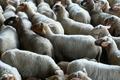 Viande d'agneaux
