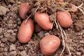 Pomme de terre Bio - 1 kg - variété Désirée