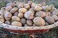 Pomme de terre de consommation Charlotte et / ou Bintje