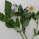 Bouquet de BASILIC BIO 2 variétés en mélange