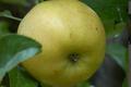 pommes Variété canada blanche