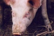 215060-cochon.JPG