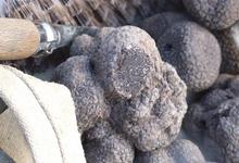 Truffe Ayme, la délicieuse truffe de France  TUBER MELANOSPORUM