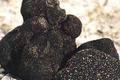 Truffe Tuber Melanosporum
