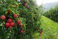 GAEC du Val Alpin, la pomme gourmande