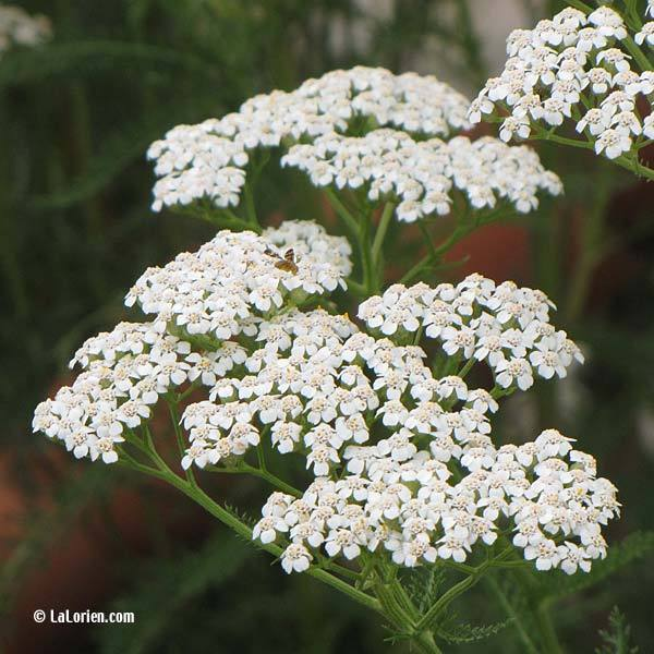 Achillee millefeuille les plantes de la lorien les - Comment trouver le nom d une plante ...