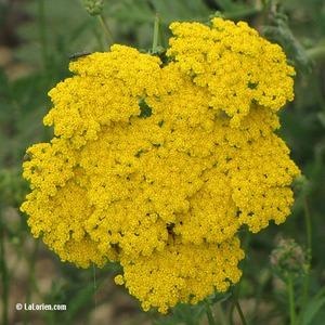 Achillée tomenteuse Inflorescence