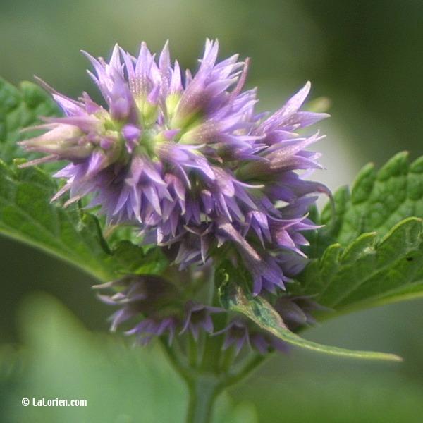 Agastache menthe les plantes de la lorien les plantes de - Nom de fleur en anglais ...