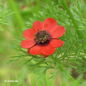 Adonis d'été Fleur