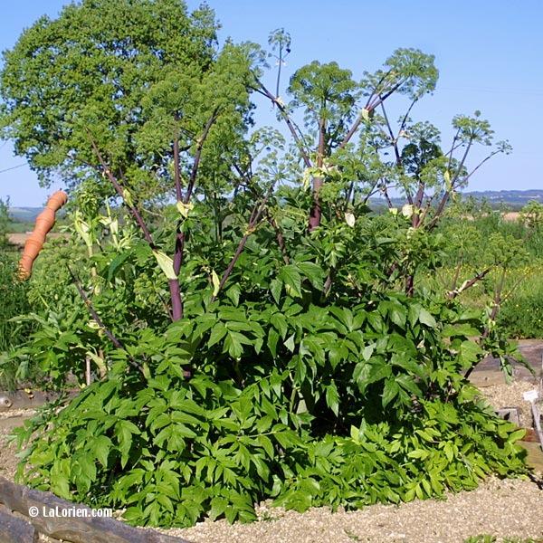 Angelique les plantes de la lorien les plantes de la lorien for Plante angelique