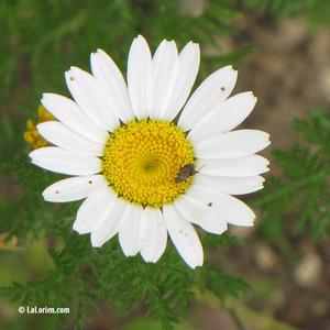 Camomille allemande Inflorescence