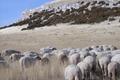 Viande d'agneau et de chevreau