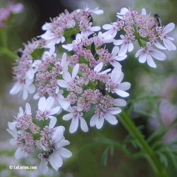 Coriandre les plantes de la lorien les plantes de la lorien - Nom de fleur en anglais ...