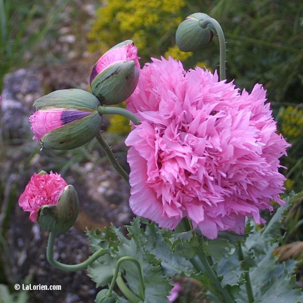 pavot fleur de pivoine les plantes de la lorien les. Black Bedroom Furniture Sets. Home Design Ideas