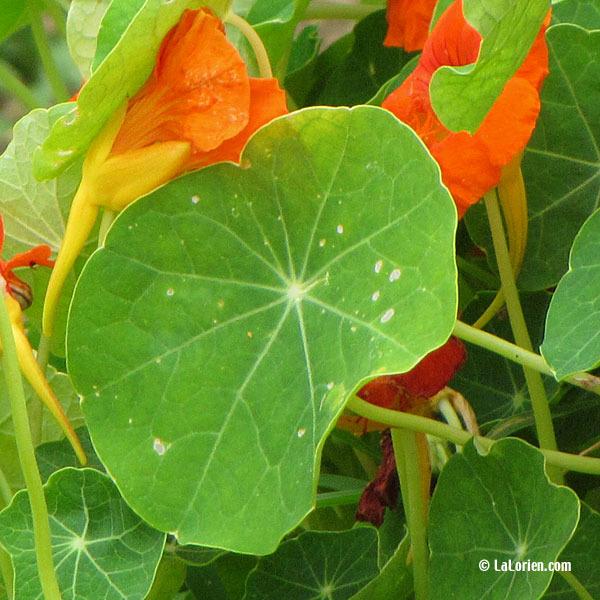 CAPUCINE - Les Plantes de La Lorien Les Plantes de La Lorien