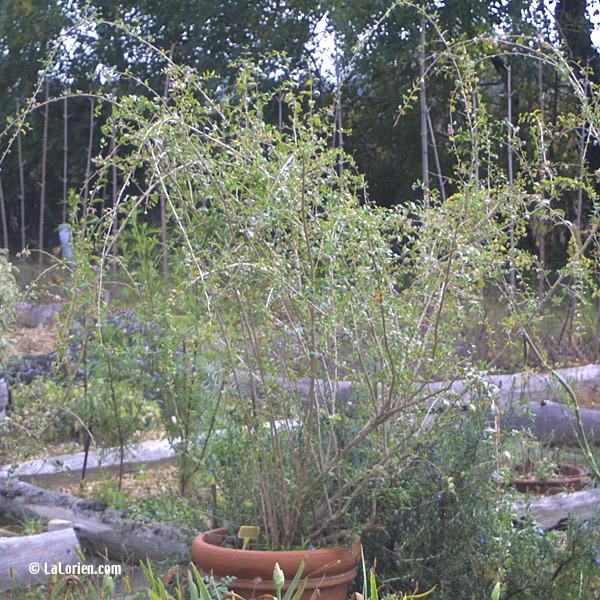 goji les plantes de la lorien les plantes de la lorien. Black Bedroom Furniture Sets. Home Design Ideas