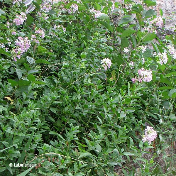 Saponaire les plantes de la lorien les plantes de la lorien for Liste plantes