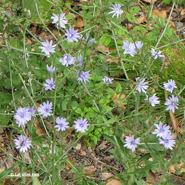 Chicoree sauvage les plantes de la lorien les plantes de for Liste plantes