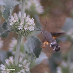 Marrube et Sphinx colibri