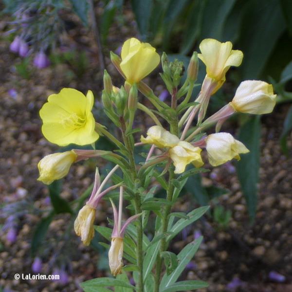 ONAGRE - Les Plantes de La Lorien Les Plantes de La Lorien