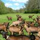 Troupeau de chèvres Alpine dans le Tarn