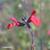 Sauge-a-petite-feuille-fleur