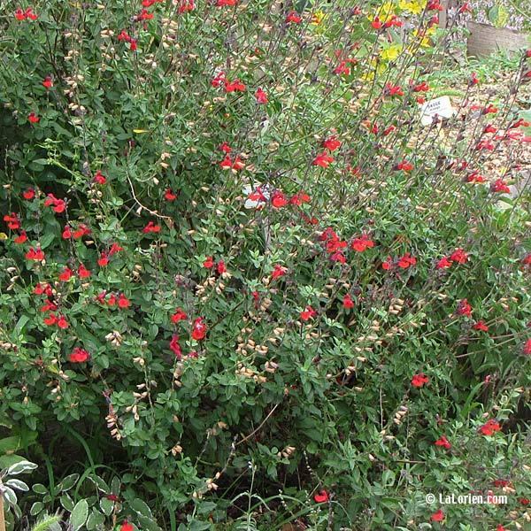 Sauge petites feuilles les plantes de la lorien les plantes de la lorien - Planter de la sauge ...