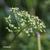 Persil-plat-inflorescence