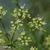 Persil-plat-fleur