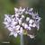 Ciboulette-chinoise-fleur