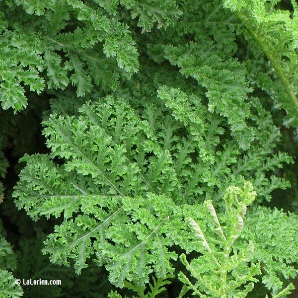 Tanaisie crisp e les plantes de la lorien les plantes de for Ou acheter des plantes