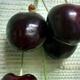 Cerises, variété Noire de Meched