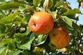 Pomme verger de Villesauvage