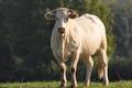 Ferme Papeteria, Viande de veau et de bœuf, blonde d'Aquitaine