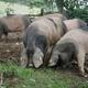 FERME PELLOENEA, Jambon de porc Kintoa et viande fraîche de porc Kintoa