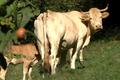FERME APEZETXEA, Viande de veau et de bœuf