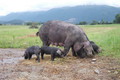 viande de porcs gascons