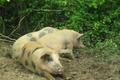 Ferme Bacquet,  Caissette de porc sous vide
