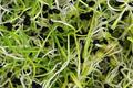 graines germées de poireaux