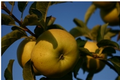 les jardins de la Frolle, Pomme Belchard