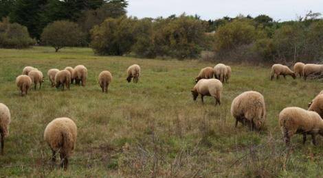 vente d'agneau bio