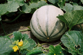melon du Haut-Poitou