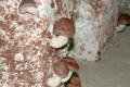 champignonnière des Roches, shii také