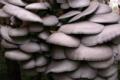 champignonnière des Roches, pleurote