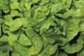 Salade Feuille de chêne verte
