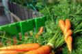 carottes botte